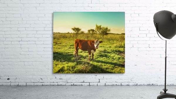 Cow in the Field Watching the Camera