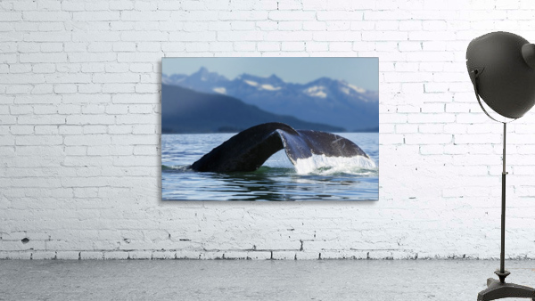 A Humpback whale lifts its flukes as it returns to the depths to feed in the bountiful waters of Alaska's Inside Passage, Tracy Arm in the distance, Stephens Passage, near Juneau.