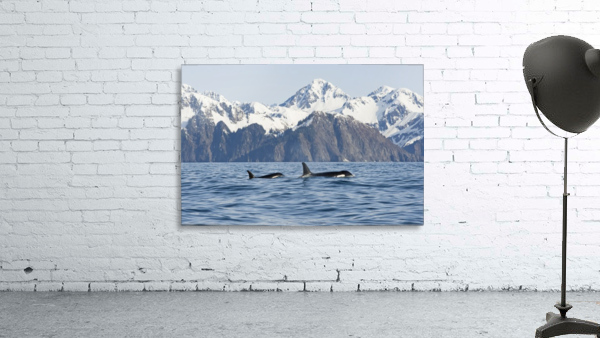 killer whale, or orcas, Orcinus orca, cow and calf swimming in Resurrection Bay, Kenai Fjords National Park, outside Seward, southcentral Alaska, spring
