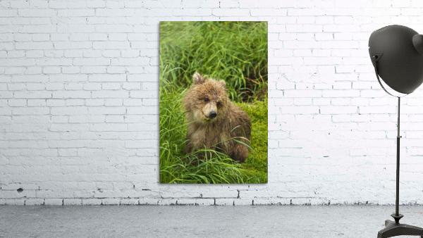 Brown bear (Ursus arctos) cub close-up, sitting in grass, Katmai National Park and Preserve, Southwest Alaska, USA