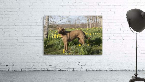 Female Chesapeake Bay retriever in daffodils; Waterford, Connecticut, USA