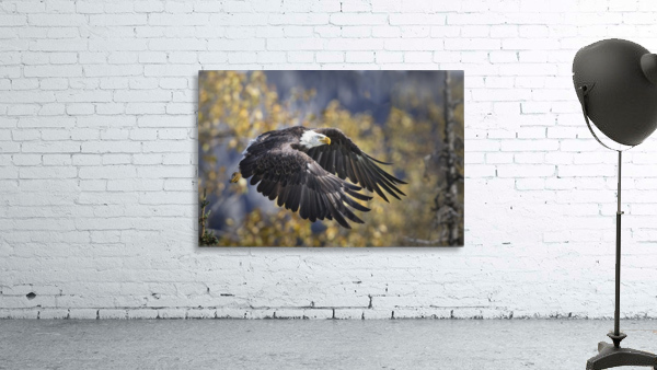 Bald Eagle in flight, Alaska, Autumn
