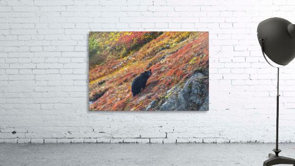 Black bear (Urus Americanus) standing on a colorful autumn hillside, Kenai Fjords National Park, Southcentral Alaska
