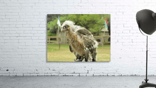 baby hawk1