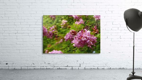 Rose Acacia Blossoms