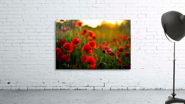 Beautiful Sunset poppy flowers