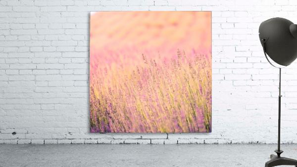 Sunset lavender flowers, instagram effect
