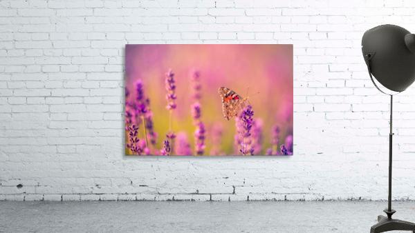 Beautiful Sunset lavender flowers