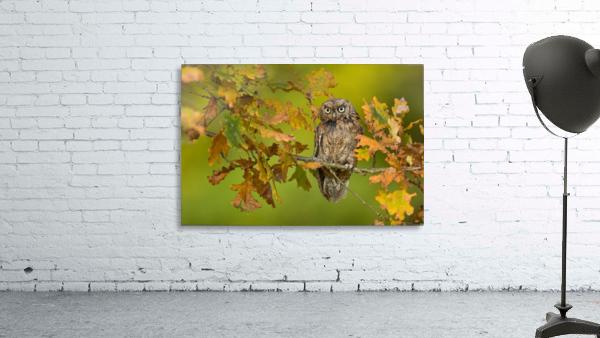 Eurasian scops owl Print