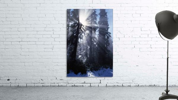 Sunbeams Through Pine Trees
