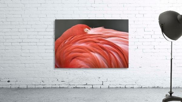 Close Up Of A Flamingo Resting Its Head On Its Back