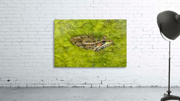 A Rio Grande Leopard Frog Sitting On A Bed Of Algae