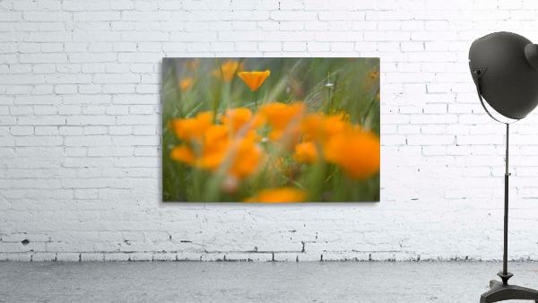 Close Up Of Orange Poppy Flowers