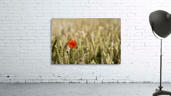 Poppy Flower In Field Of Wheat