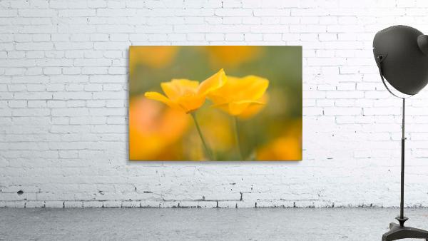 Yellow Poppy Flower, Mount Hood, Oregon, Usa