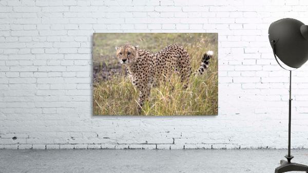 Cheetah (Acinonyx Jubatus), Masai Mara National Reserve, Kenya, Africa; Cheetah On The Prowl