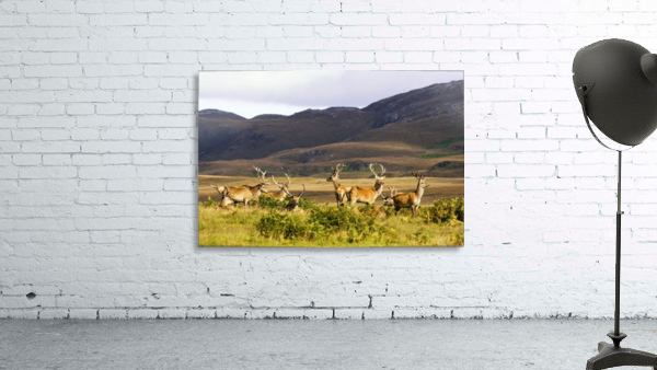 Island Of Islay, Scotland; Male Deer Roaming The Hills