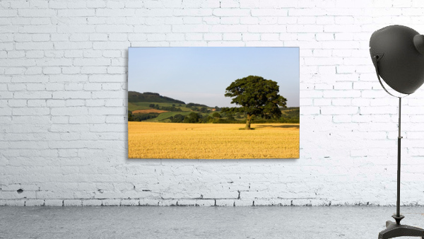 Tree In A Golden Field Of Grain, North Yorkshire, England