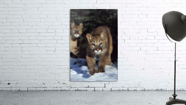 Mountain lion cub (Felis concolor) walking on snow toward camera, mother in background; Montana, Usa