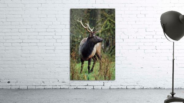 Roosevelt Elk (Cervus Canadensis Roosevelti); Olympic National Park, Washington, Usa