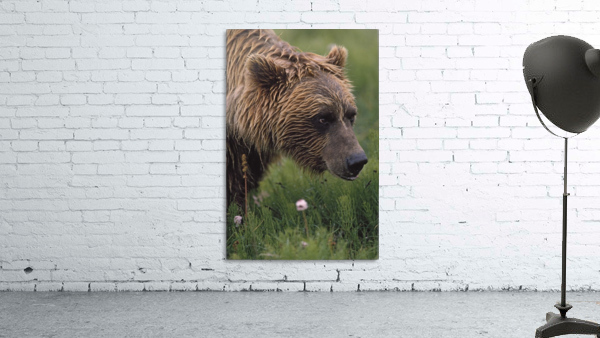 Grizzly Bear Wet From Rain