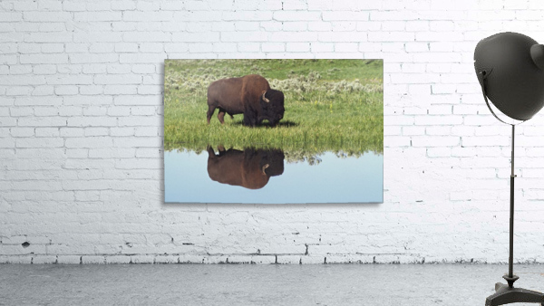 Bison (Bison Bison) On Grassy Meadow With Reflection In Pool