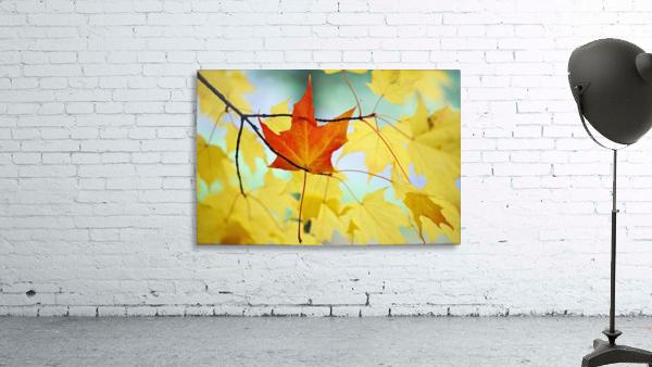 Oregon, United States Of America; An Orange Leaf Fallen On Yellow Leaves