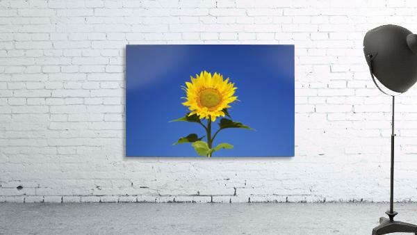 Laval, Quebec, Canada; Sunflower (Helianthus Annuus) Against A Blue Sky