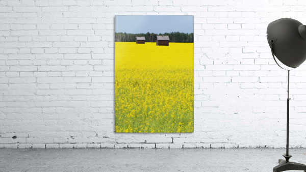 Alberta, Canada; Two Wooden Shacks In A Canola Field