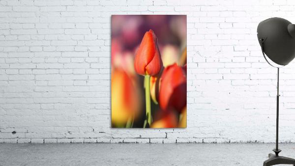Woodburn, Oregon, United States Of America; Close Up Of A Closed Tulip
