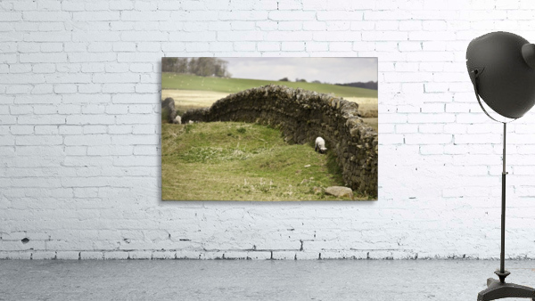 Northumberland, England; Sheep Grazing Along A Stone Wall