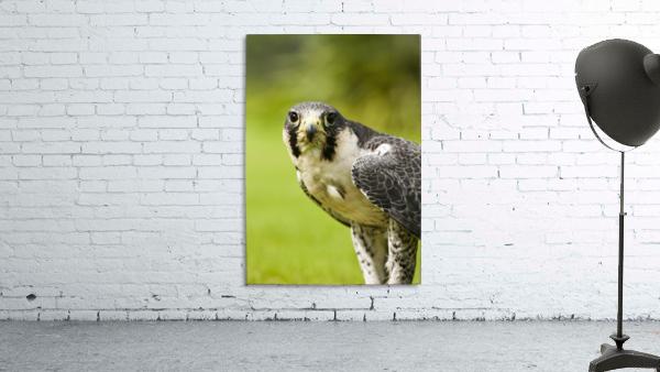 Peregrine Falcon (Falco Peregrinus); Windermere, Cumbria, England