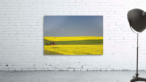 Flowering Canola Fields And A Red Barn; Alberta, Canada