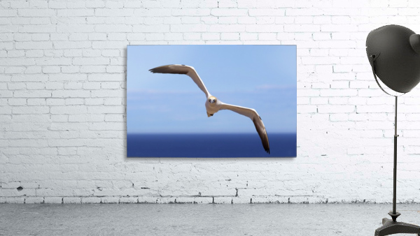 Gannet Flying Over The Water; Perce, Quebec, Canada
