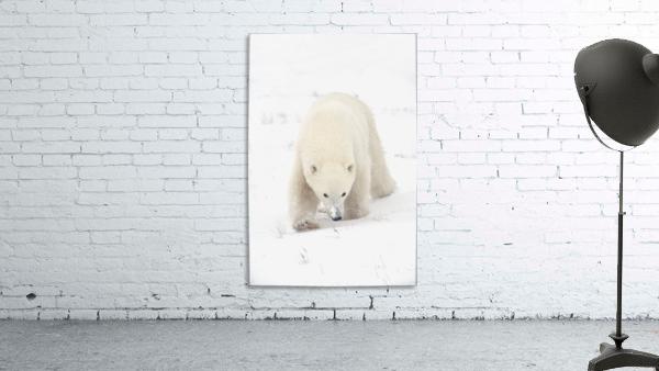 Curious Young Polar Bear (Ursus Maritimus) Exploring; Churchill, Manitoba, Canada