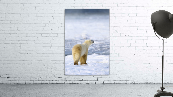 Polar Bear (Ursus Maritimus) Sniffs The Air As He Is On The Hunt For Food; Churchill, Manitoba, Canada
