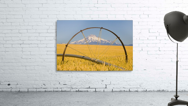 Irrigation Pipe In Wheat Field With Mount Hood In Background; Oregon, Usa