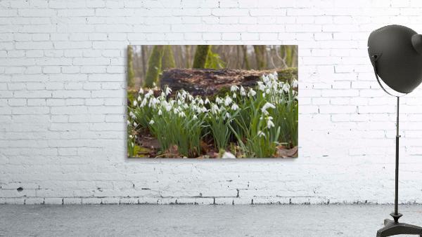 White Flowers Growing On A Forest Floor Beside A Fallen Tree; Dumfries, Scotland