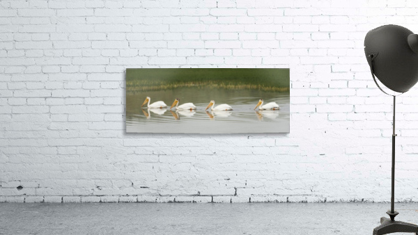 American White Pelicans Swim In A Line On The Yellowstone River; Wyoming, Usa
