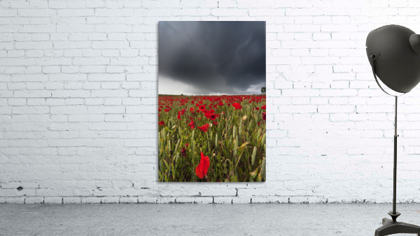 A Field Of Red Poppies Under A Dark Stormy Sky; Northumberland, England