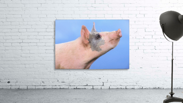 Pig with a blue background;British columbia canada