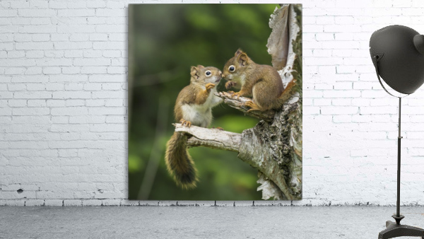 Two Red Squirrels (Sciurus Vulgaris) Playing In A Tree; Ontario, Canada