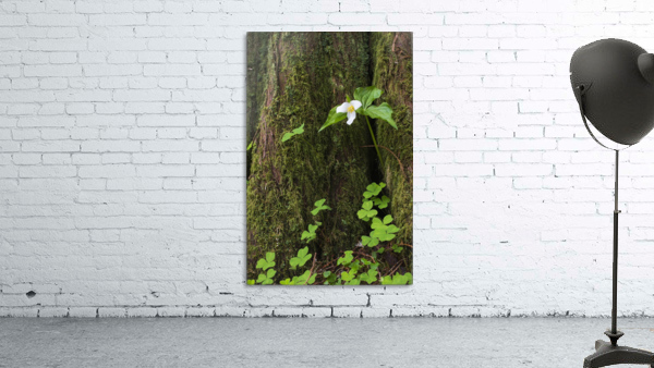 A Trillium grows from the trunk of a Western Red Cedar tree; Jewell, Oregon, United States of America
