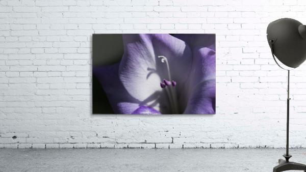 Purple gladiolus; Astoria, Oregon, United States of America