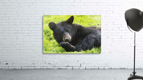 A black bear rolls around in the lush green grass