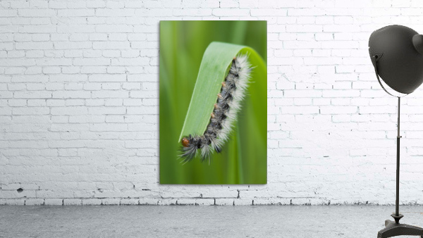 A caterpillar eats grass; Astoria, Oregon, United States of America