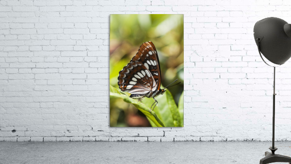 A White Admiral Butterfly (Limenitis arthemis) rests on a leaf; Astoria, Oregon, United States of America