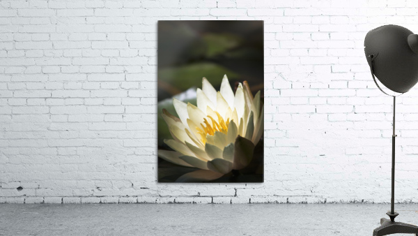 Water lily blooms in a pond; Astoria, Oregon, United States of America