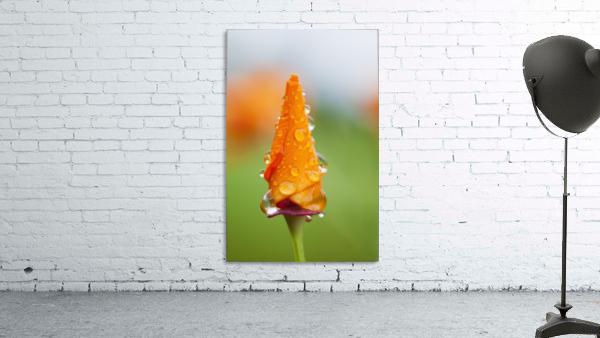 California poppy (Eschscholzia californica) remains closed in the rain; Astoria, Oregon, United States of America