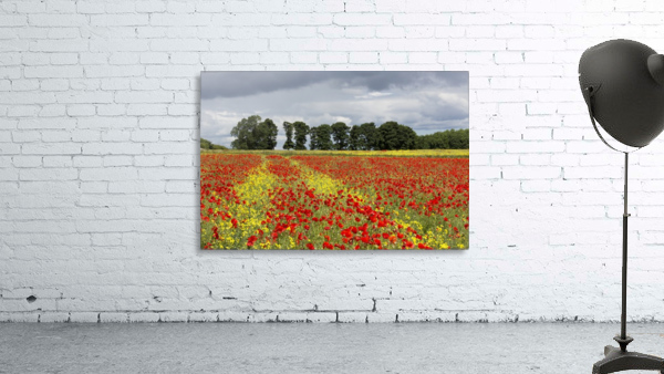 A field with an abundance of red and yellow flowers; Northumberland, England